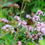 Herbs, marjoram, marjoram flowers, butterfly, herb flowers, summer, summer herbs, flora, fauna, fresh, English garden, English country garden herbs, bee, bee herbs,
