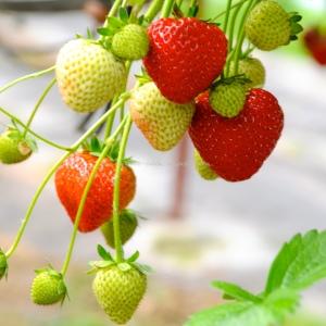Strawberries growing © www.ice-cream-magazine.com