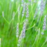 tender stem lavender