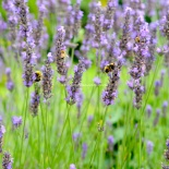 lavender bees at work