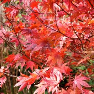 Autumn Acer