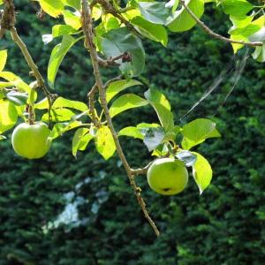 Autumn apples branch