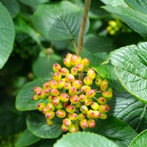 Autumn golden berries