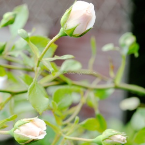 Autumn rose buds