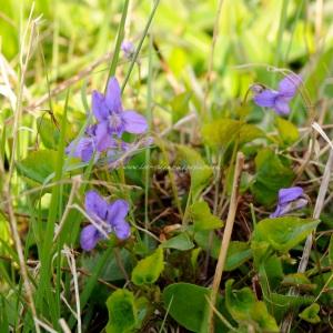 violets (copy)
