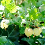 gooseberries -  © www.ice-cream-magazine.com