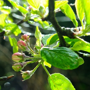 apple blossom  © www.ice-cream-magazine.com