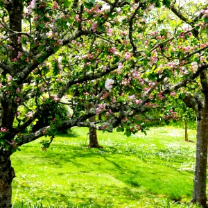 orchard apple blossom© www.ice-cream-magazine.com