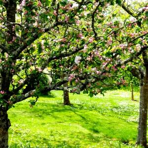 orchard apple blossom© www.ice-cream-magazine.com