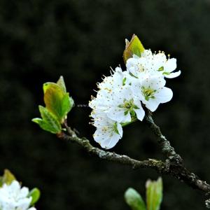 damson blossom  © www.ice-cream-magazine.com